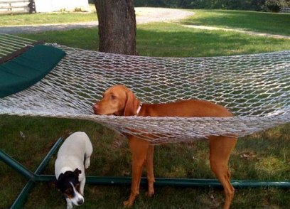 dog caught in hammock